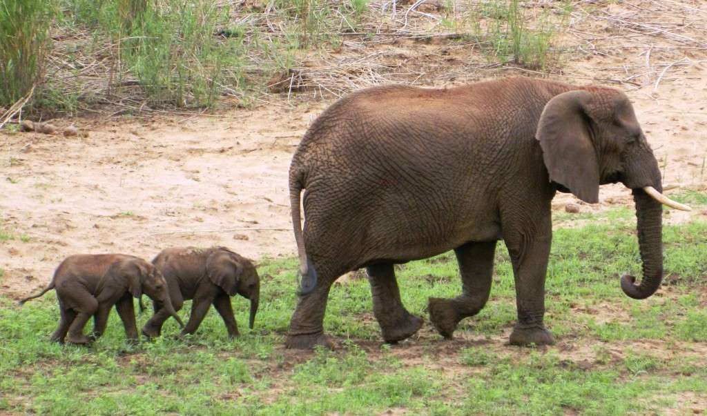Elephant twins, Pongola, South Africa
