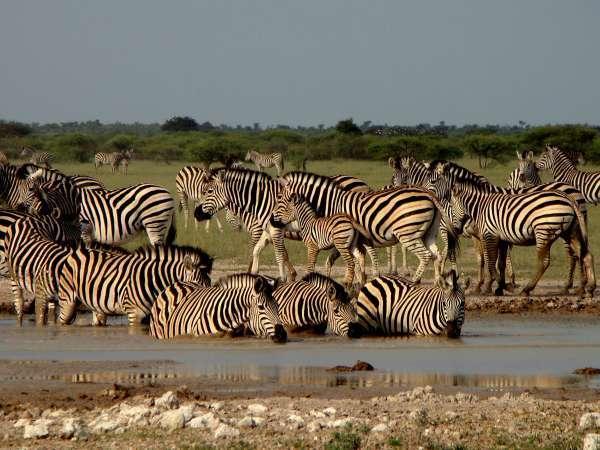 f-paschoal-desert-zebras-drinking-water-guide-george-tour-oparator-safari-destinationskar