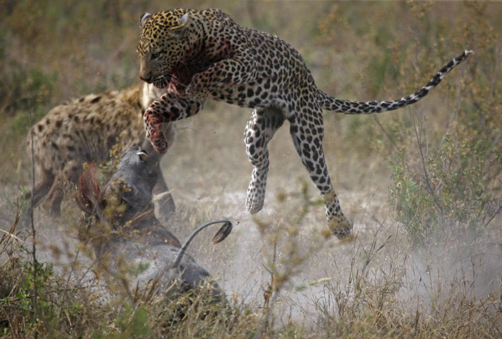 Leopard vs Warthog 3