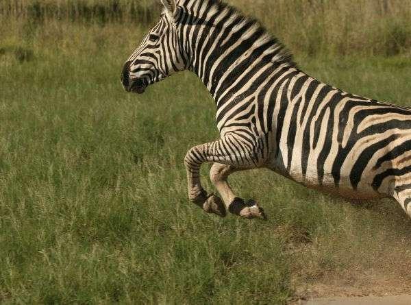 nxai_pan_camp_-_zebra
