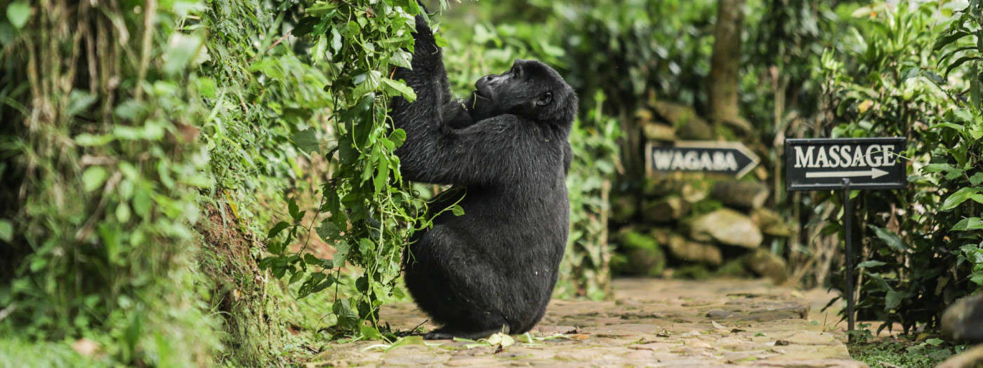 uganda_gorilla-bwindi-e1425447434318-1400x525